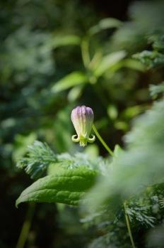 A clematis native to Buffalo NIagara. Tiny but beautiful.