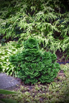 There are minilandscapes to discover with these dwarf conifers.