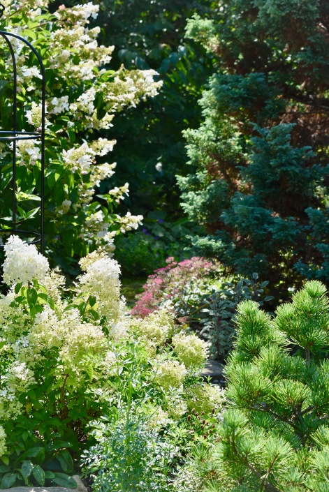 Barbara collects conifers, clematis, and here, hydrangeas.