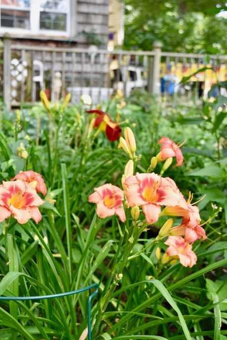 Daylilies in a very Sally color.