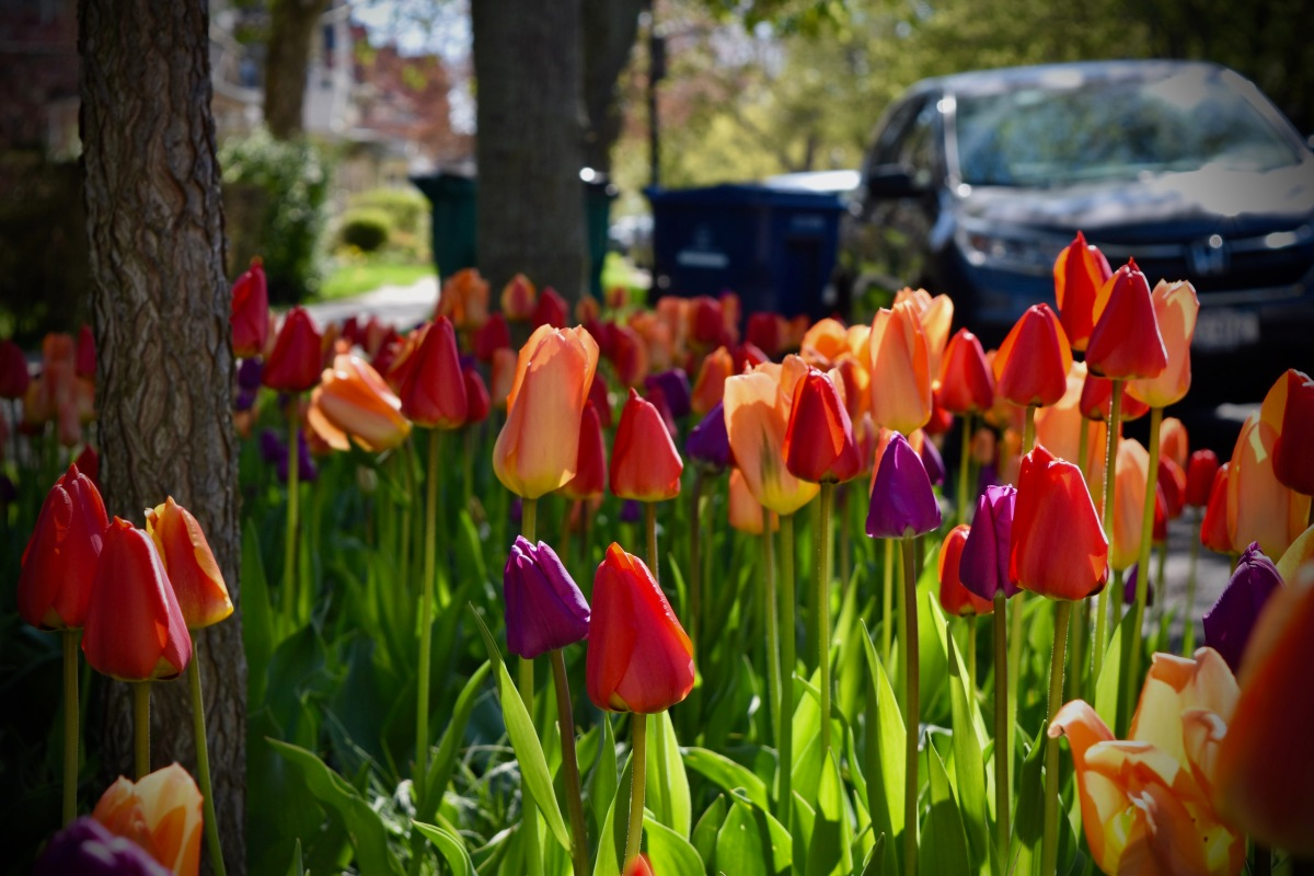 Stop the Car Tulips!