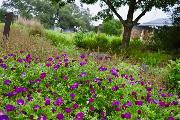 The Savanna Meadow (Rock Roses)