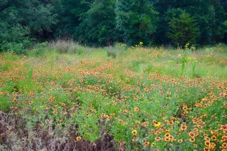 The Savanna Meadow (Indian blanket)