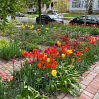 How I tulip